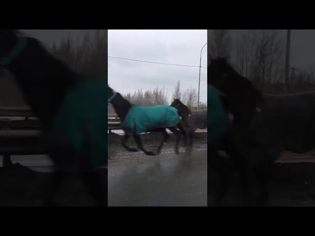 Гаишники ловят табун лошадей на дороге