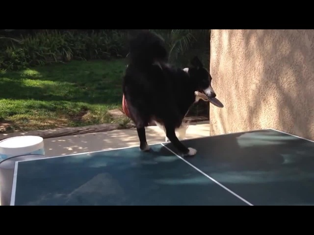 Ping pong - Dog vs Cat coub