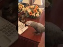 Очень умный попугай Жора беседует с хозяйкой