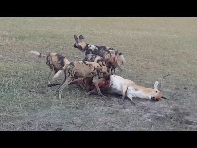 Гиеновые собаки охотятся на антилопу личи (African Wild Dogs chase and kill a Lechwe antelope in Jao Concession, Botswana)