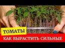🌱Крепкая рассада томатов до пикировки Как вырастить Выращиваем томаты вместе🌱