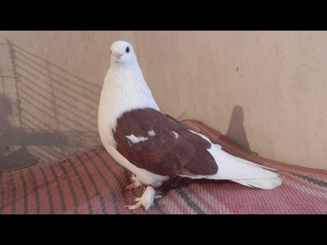 Новая голубка для голубя Кеши - Голубиная сага - 66 серия