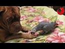 Gadająca papuga Grigorij naśladuje głosy zwierząt Grigorij The Talking Parrot