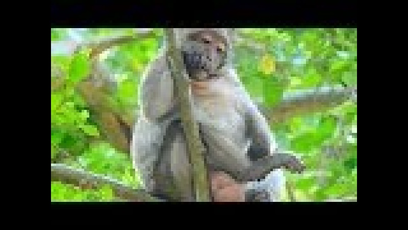Sweet Pea Monkey On The Tree Miss King Brutus - Pity Lori Baby Monkey