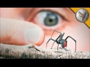 ПАУК ОПАСНЕЕ ЧЕРНОЙ ВДОВЫ.Австралийская вдова - ядовитый паук.Brave Wilderness на русском