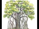 Черенкование (воздушные корни) Шалфея Предсказателей  Salvia Divinorum