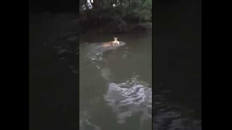 Vaca enseña ternero a nadar, Z
