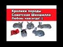 Кролики породы Советская Шиншилла. Любовь навсегда