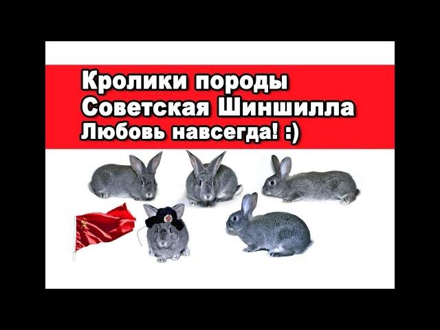 Кролики породы Советская Шиншилла Любовь навсегда