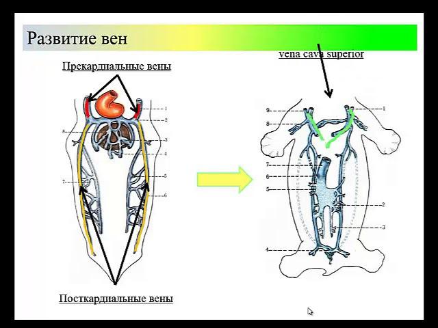 Развитие крупных кровеносных сосудов