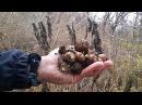 Как собрать и приготовить топинамбур (земляную грушу)