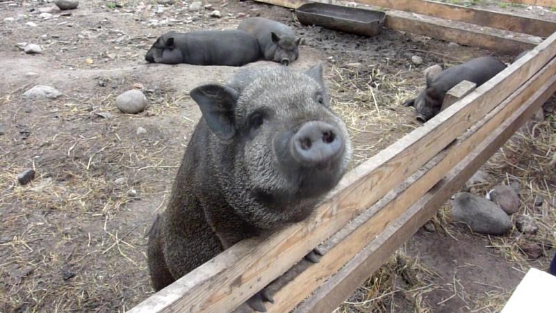 [083] Летняя Ладога: черные свиньи на Коневце