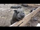 [ 083] Летняя Ладога: черные свиньи на Коневце