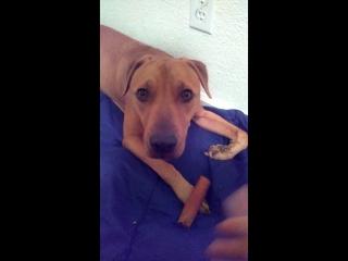 Освобожденная от собачих боёв собака не знает, что делать с косточкой (VHS Video)