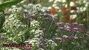 Алиссум выращивание и уход Ароматный бордюрный однолетник