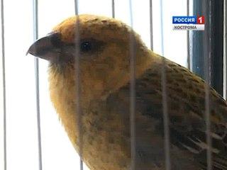 Костромич Рафаил Набиулин собрал у себя дома коллекцию из 20 певчих птиц