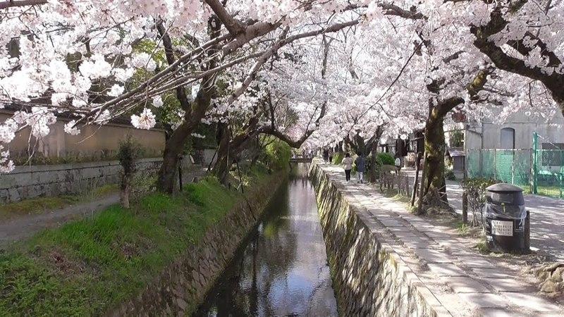 京都 桜が満開の「哲学の道」 2018年3月30日 Cherry blossoms are in full bloom at