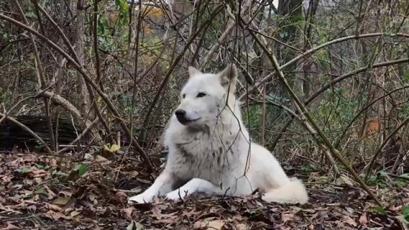 Хорош...Белый волк....