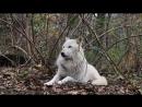Хорош Белый волк
