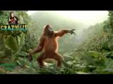 Despacito - luis fonsi ft Daddy yankee , Gorilla Dance on despacito , remix cover¦ minions
