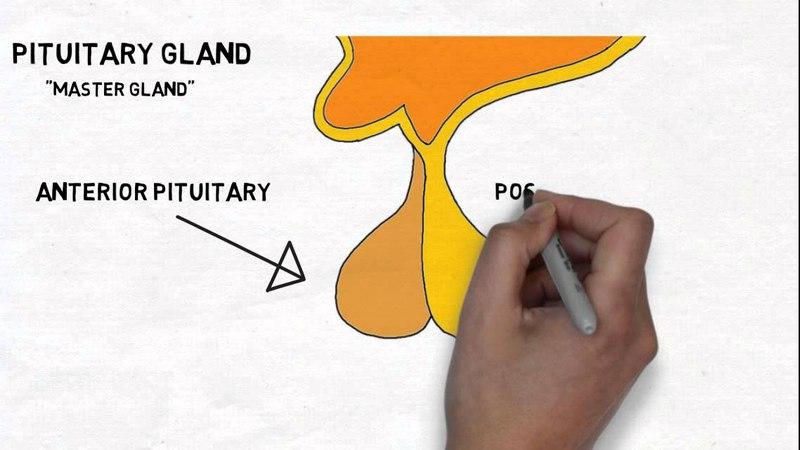 2-Minute Neuroscience Hypothalamus Pituitary Gland