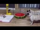 Щенки мопса решили показать котенку кто в клетке хозяева (ЗРЯ )