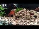 Pelvicachromis pulcher (Пельвикахромис пульхер)