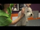 ¿Cómo arreglar caras de West Highland terrier?