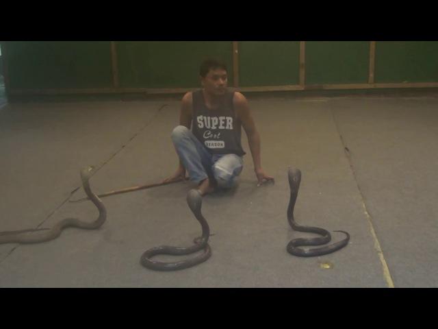 Поцелуй с коброй! Шоу змей! ( Kiss a Cobra! Show snakes!)
