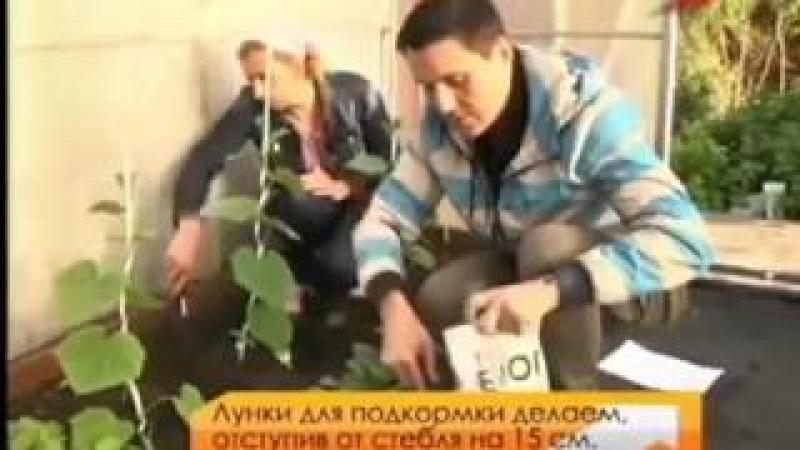 Огурцы Марина Рыкалина и Виталий Декабрев История одной культуры