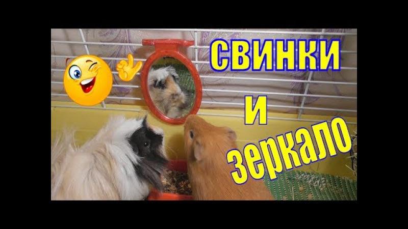 Морские свинки и зеркало/свинка игрушки