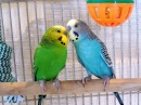 2 Hours Nature Sounds Parakeets Budgies Chirping Singing Reduce stress blood pressure