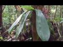 Phalaenopsis in natural habitat in situ