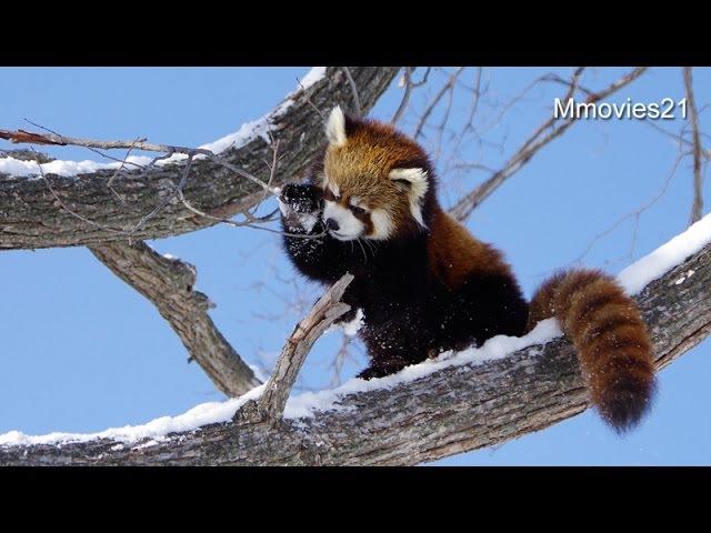 The winner is Red Panda~ついに勝利!レッサーパンダのホクト