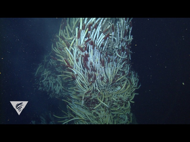 Hydrothermal vent communities in the Gulf of California