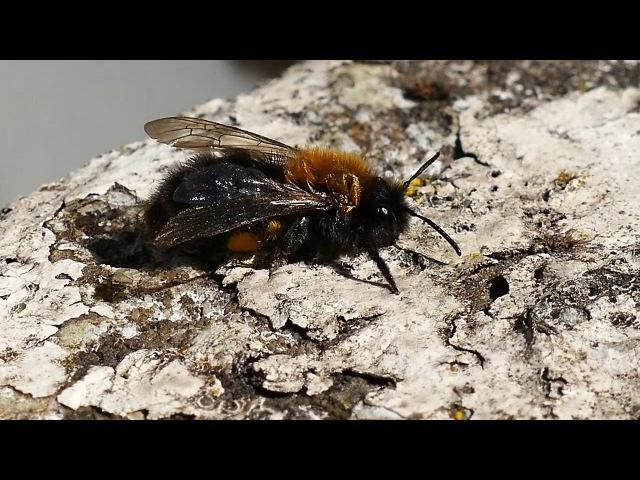 Медоносная Пчела | пасека | Россия | Алтай | богиня весны живана