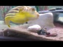 Puffer Fish Gets Pinched By Shrimp Then Goes NUTS