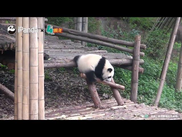 Самые нелепые падения панд собрали в одном видео