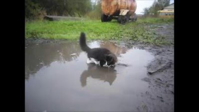 Самое смешное видео. Смешное видео про котов. Кот купается в луже. Решил освежить...
