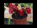 Специальные сорта овощей для выращивания в контейнерах