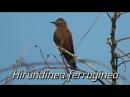 Cliff flycatcher Ласточковый мухоед Hirundinea ferruginea