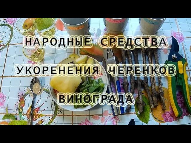 Виноград Народные, эффективные средства укоренения черенков.