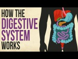 How your digestive system works - Emma Bryce