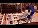 Корелла говорит и поет/Говорящий попугай Корелла