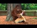 Заботливый папаша... орангутанг