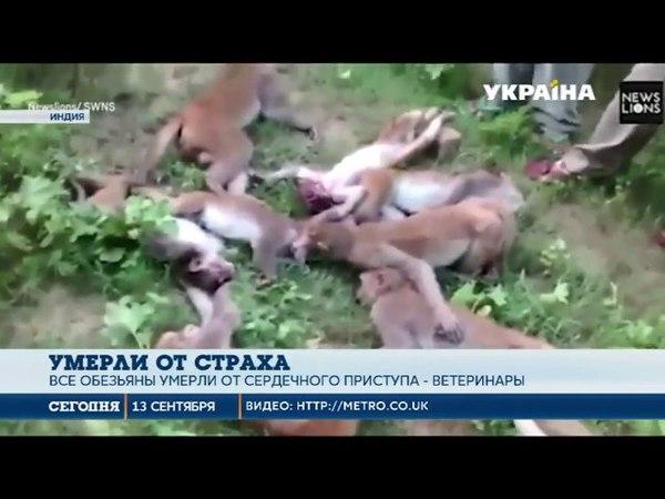 В Индии стая из 12 ти обезьян погибла от инфаркта