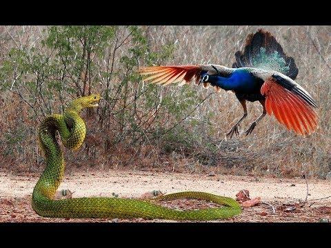 Kinh Ngạc! Rắn Hổ Mang Chúa Đối đầu kẻ thù truyền kiếp có kết cục - King Cobra Vs Bird