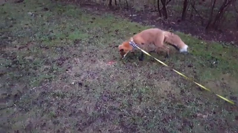 Tiki the fox is not impressed with a laser pointer (Day 406)