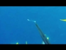 Смелая акула и подводный охотник.