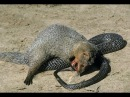 Snake vs Mongoose ⇉ Fox vs King cobra vs honey badger vs Squirrel⇉ Animals attack compilation